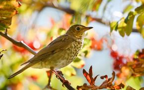 Картинка осень, птица, клюв, хвост, дрозд-отшельник