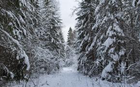 Картинка зима, лес, снег, елки, ели, дорога в лесу, снежная дорога, снежно