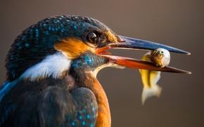 Обои макро, птица, рыба, клюв, зимородок, улов