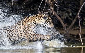 Картинка вода, брызги, хищник, ягуар