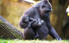 Картинка животные, обезьяны, детёныш, приматы, гориллы, Anja Ellinger