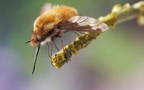 Картинка макро, насекомое, муха-жужжала, жужжала