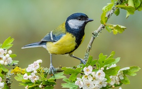 Картинка птица, ветка, цветение, цветки, синица, боярышник