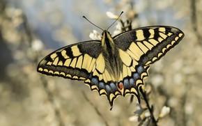 Обои бабочка, боке, махаон