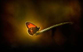 Картинка макро, свет, бабочка, колосок