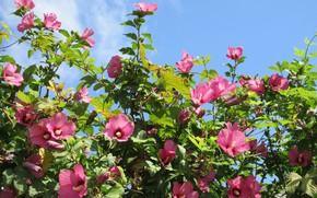 Картинка цветы, розовые, Meduzanol ©, небо