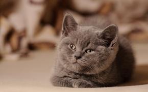 Картинка смотрит, пушистый, котенок