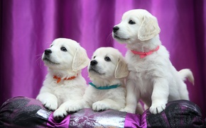 Картинка щенки, лабрадор, ленточки, ретривер