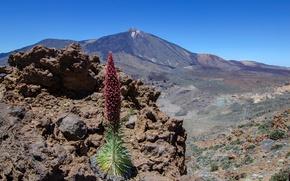 Картинка растение, гора, вулкан, Испания, Тенерифе, буглос Тенерифе, красный буглос, Тейде