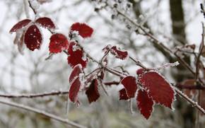Картинка холод, зима, листья, макро, снег, лёд, ветка, изморозь