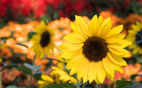 Картинка лето, Цветок, Подсолнух, цветение
