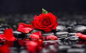 Картинка вода, роза, лепестки, камешки