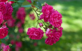 Картинка роза, ветка, боке, Роза плетистая