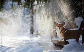 Обои Вельш-корги, зима, снег, лучи, пёсик, собака