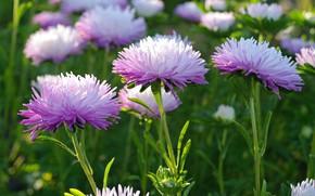 Картинка осень, цветы, природа, красота, растения, сиреневый цвет, сентябрь, дача, флора, астры, однолетники