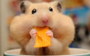 Картинка хомяк, мордочка, обед, грызун, чипсы, щёки