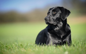 Картинка фон, чёрный, собака, Лабрадор-ретривер