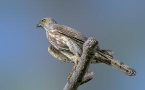 Картинка птицы, хищник, туркестанский тювик