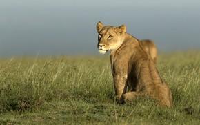 Картинка природа, Африка, львы