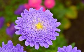 Картинка Макро, Macro, Фиолетовый цветок, Purple flower, Короставник, Knautia