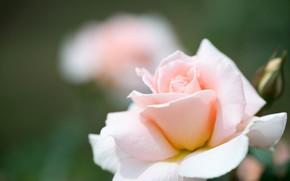 Картинка макро, нежность, роза, лепестки, боке