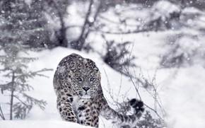 Обои снежный барс, лес, зима, снег, ирбис, хищник, леопард