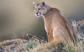 Картинка трава, фон, дикая кошка, Пума, Горный лев