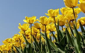 Обои тюльпаны, бутоны, жёлтые тюльпаны, небо, лепестки, много, плантация