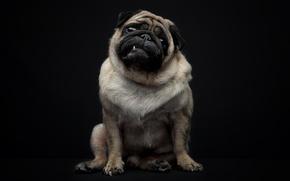 Картинка взгляд, собака, зуб