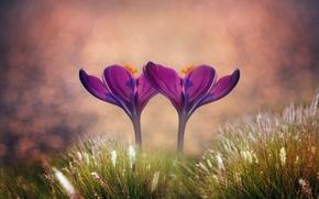 Картинка трава, макро, цветы, крокусы, боке, два цветка