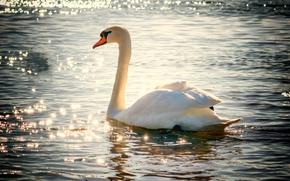 Картинка вода, озеро, птица, блеск, лебедь