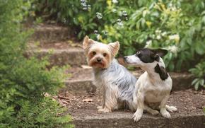 Картинка собаки, мыльные пузыри, пара, ступеньки, Йоркширский терьер