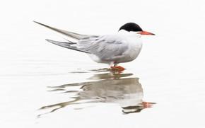 Картинка отражение, птица, клюв, речная крачка