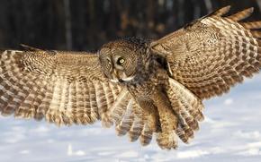 Картинка зима, глаза, снег, сова, крылья