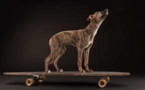 Картинка собака, доска, скейт