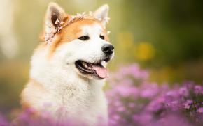 Обои язык, морда, цветы, портрет, собака, венок, боке, Акита-ину