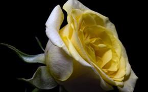 Картинка цветок, природа, роза