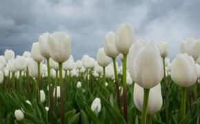 Картинка поле, тюльпаны, бутоны, белые тюльпаны