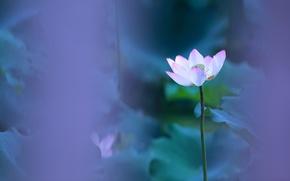 Картинка цветок, листья, цветы, лепестки, размытость, стебель, лотос, композиция, сиреневый фон, хрупкость