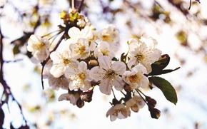 Картинка цветы, вишня, весна, лепестки, ветвь, цветение