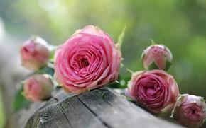 Обои розовые розы, размытость боке, бревно