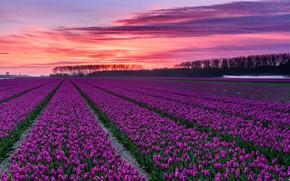 Картинка облака, зарево, тюльпаны, Нидерланды, плантация