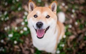 Обои язык, взгляд, морда, природа, улыбка, фон, поляна, портрет, собака, щенок, размытый, сиба-ину, сиба