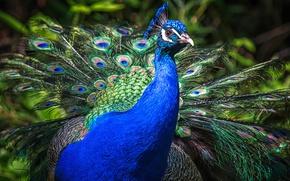 Картинка птицы, синий, природа, птица, портрет, хвост, павлин, оперение, пернатые