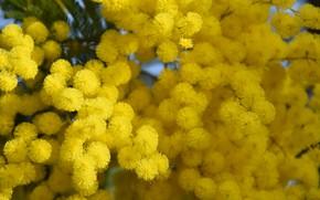 Картинка Весна, цветение, Мимоза