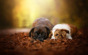 Картинка осень, собаки, листья, пара, боке, две собаки, Боксёр