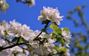 Картинка макро, деревья, радость, цветы, природа, настроение, картинки, красота, ветка, сад, май, яблоня, цветение, флора, эстония
