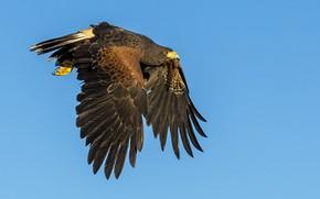 Картинка полет, птица, крылья, хищник, клюв, ястреб, пустынный канюк