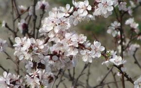 Картинка весна, абрикос, цветущий