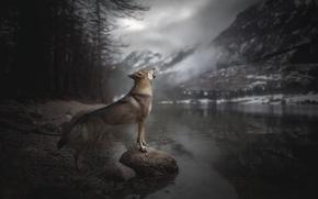 Картинка горы, река, собака, вой, Voice of Wilderness